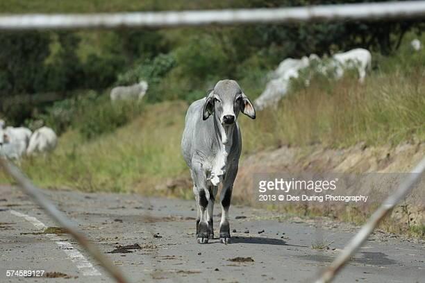 Baby Brahman cow walking towards camera