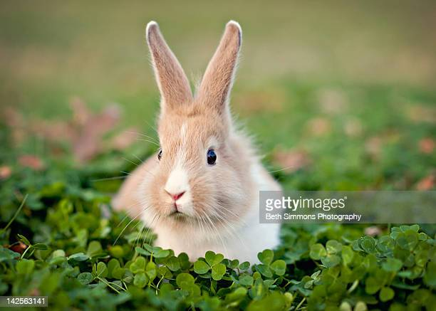 baby bunny in clover field - rabbit stock pictures, royalty-free photos & images