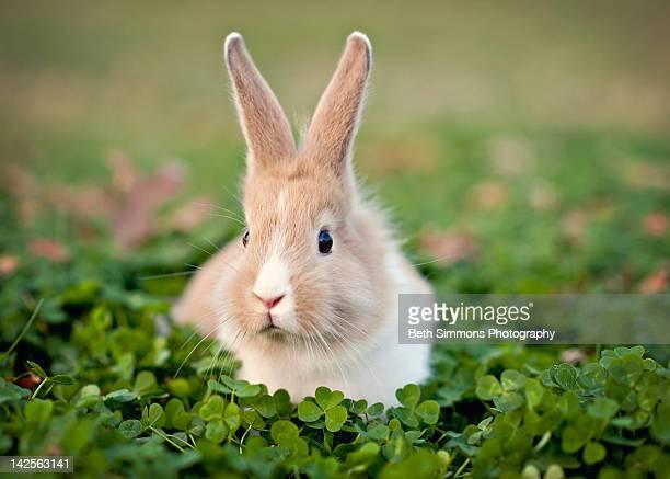 baby bunny in clover field - coniglietto foto e immagini stock