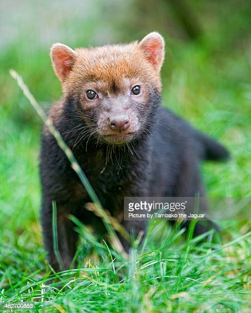 baby bush dog in the grass - bush dog stock pictures, royalty-free photos & images