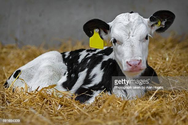 Baby calf lying on straw