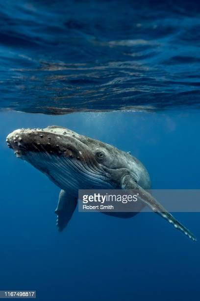 baby calf - クジラ ストックフォトと画像