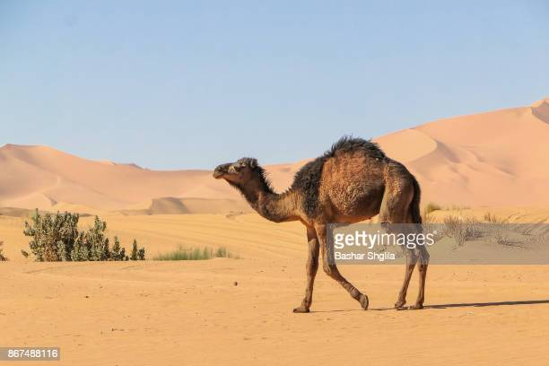 baby camel - camel stock pictures, royalty-free photos & images