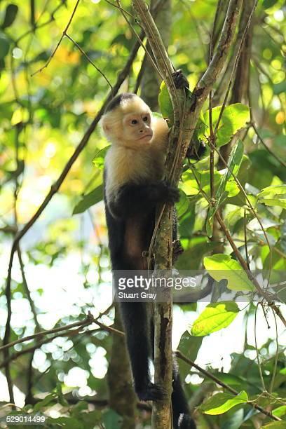 Baby capuchin monkey in tree, Manuel Antonio