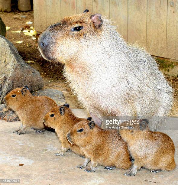 Baby capybaras are seen with their father Cheese at Himeji Central Park on March 31 2014 in Himeji Hyogo Japan The capybaras were born on March 18