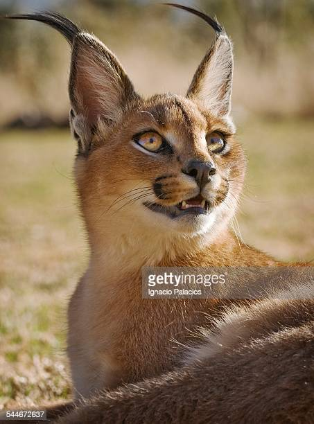 Baby Caracal African Lynx in wildlife sanctuary