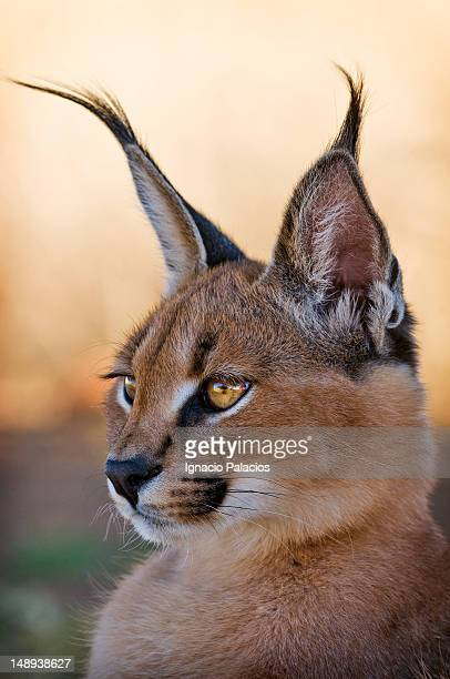 Baby Caracal (African Lynx) in wildlife sanctuary.