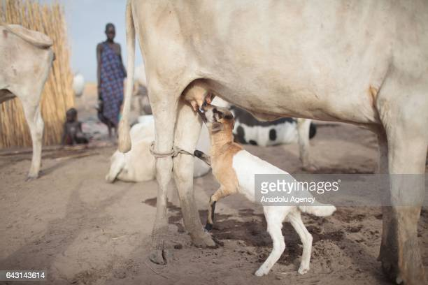 A baby cattle try to feed itself in Terekeka town of Juba South Sudan on February 9 2017 Munda people a small ethnic group of South Sudan provide...