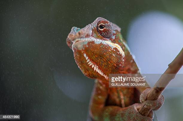 A baby chameleon sits in its enclosure at the Planet of Crocodiles in Civaux near Poitiers western France on August 28 2014 Around 200 crocodiles...