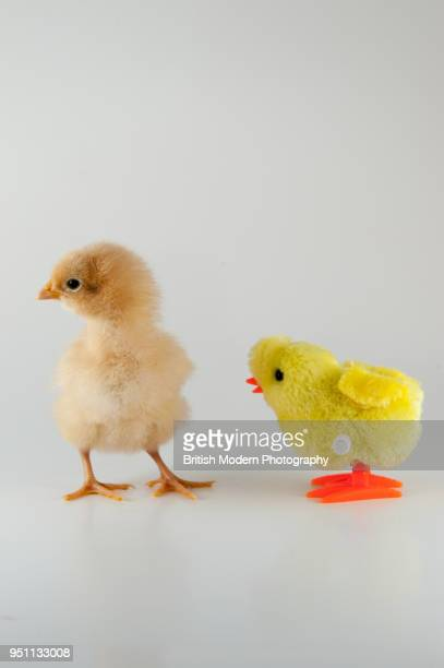 baby chick and toy chick - chicken bird stock pictures, royalty-free photos & images