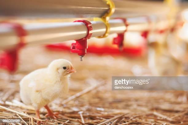 Baby chick at farm