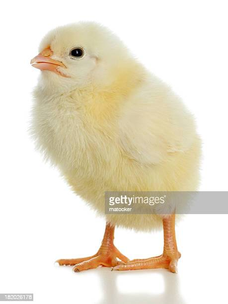 Baby chick isolated on white