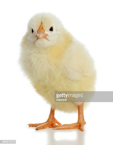 Baby chick looking at camera