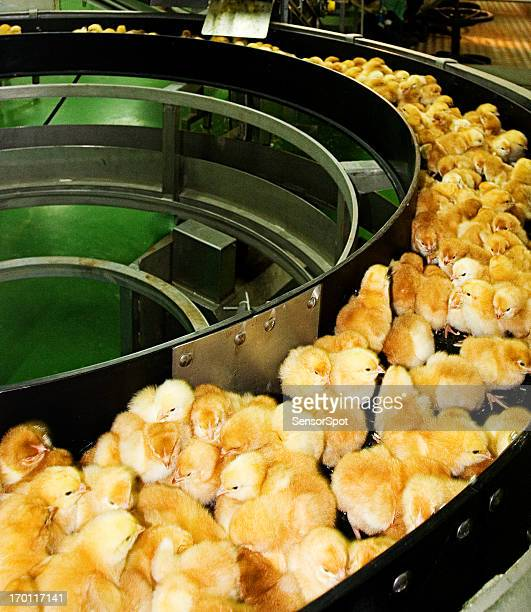 Baby chicken production