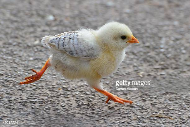 baby chicken running - chicken bird stock pictures, royalty-free photos & images