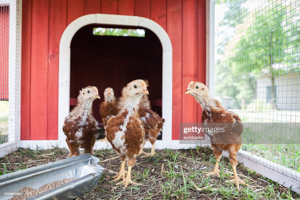 Baby Chickens in a Coop : Stock Photo
