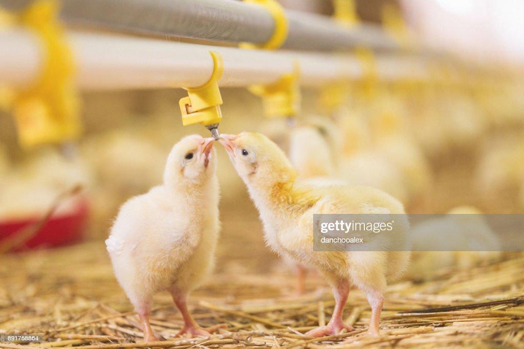 Baby chicks at farm : Stock Photo