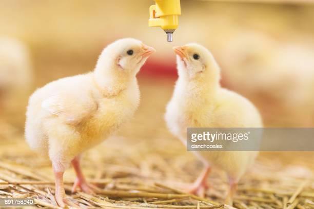 Baby chicks at farm