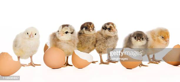 baby chicks - hatching stock photos and pictures