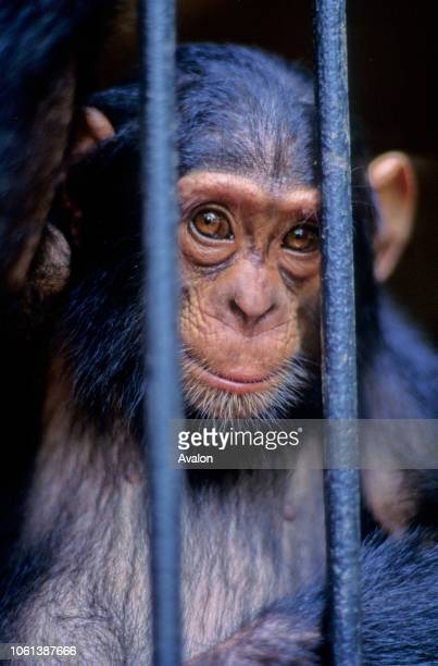 Baby Chimpanzee bush meat orphan held at private zoo Cameroon Date