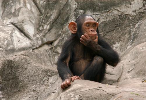 Baby chimpanzee sitting on rocks 139960267