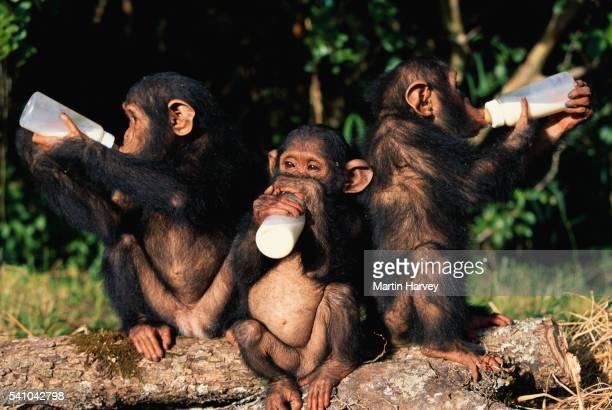 Baby Chimpanzees Drinking Milk