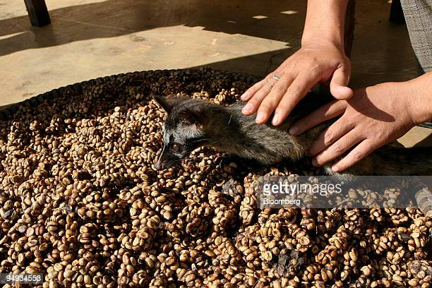 A baby civet cat sniffs at excreted coffee beans drying in the sun on a farm in the main coffeegrowing area of Dak Lak province in central Vietnam on...