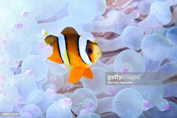 baby clarks clownfish in an anemone