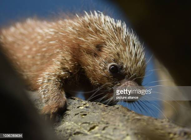 A baby Coendou porcupine born on 07 November 2015 makes its way down a tree branch in its enclosure at the zoo inFrankfurt am Main Germany 03...