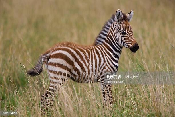 Baby Common Zebra, Equus burchelli