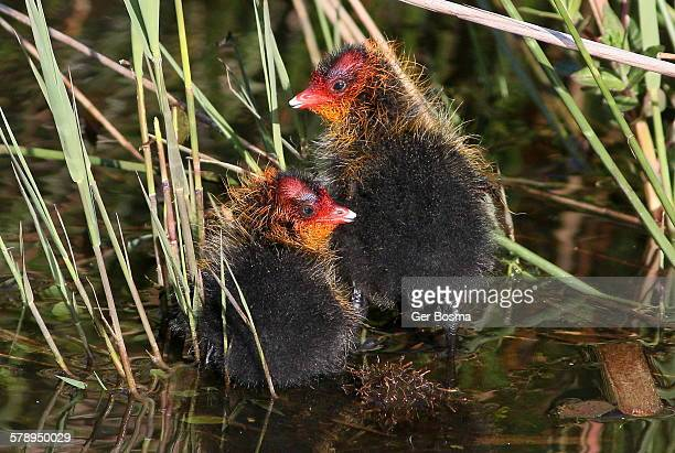 baby coots - ugly baby stock photos and pictures