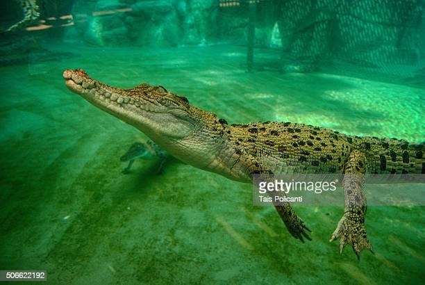 Baby crocodile in Crocosaurus Cove, Australia