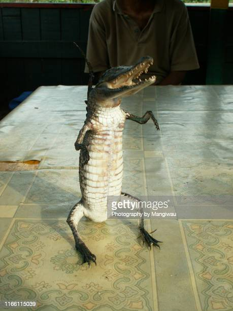 baby crocodile taxidermy - good posture stock pictures, royalty-free photos & images