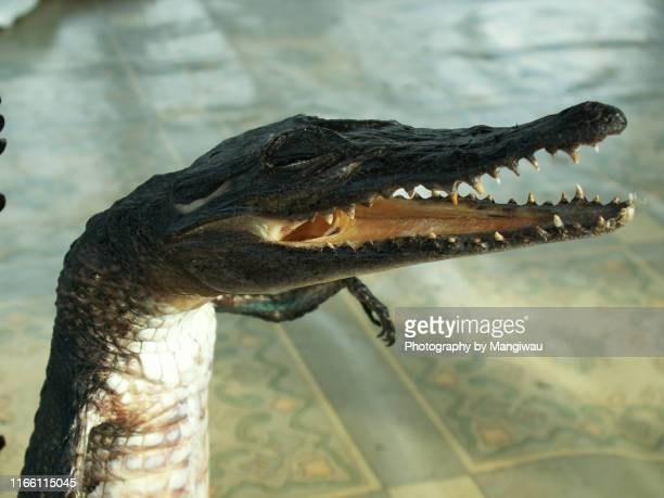 baby crocodile taxidermy - reptile leather stock pictures, royalty-free photos & images