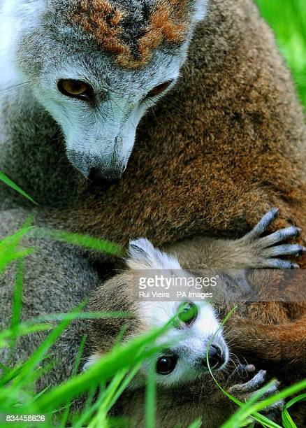 Baby crowned lemur Kali born on April 19 with mother Rose at Twycross Zoo Leicestershire