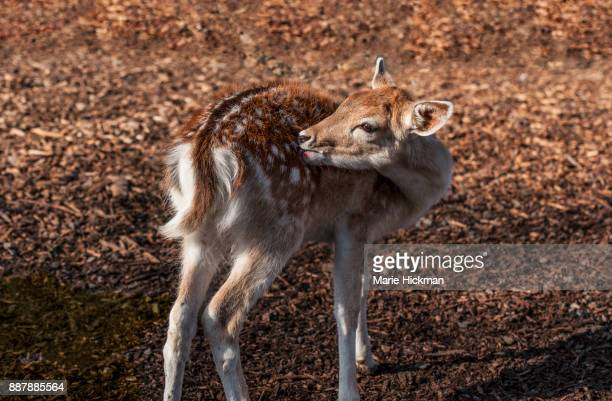 Baby deer or fawn licking or grooming its' coat of fur at sunset.