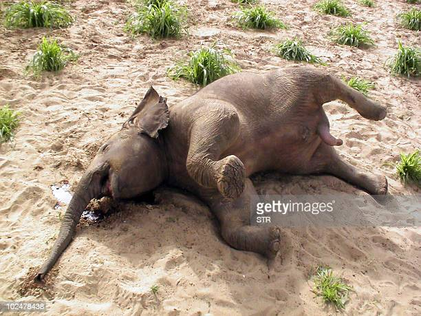 Baby desert elephant agonizes from thirst in the north of Mali, known as the Gourma area, on May 26, 2010. Inhabitants of the Gourma region of Mali...
