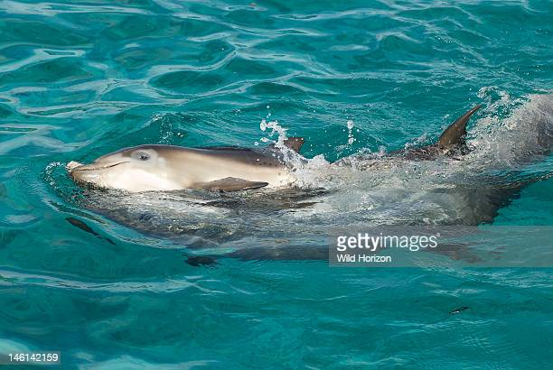 Baby dolphin playing with her mother Tursiops truncatus Notice the mottled coloring due to her getting new skin and losing the old skin Dolphin...