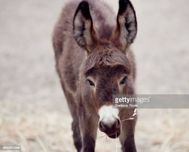 baby donkey mule - jackass images stock pictures, royalty-free photos & images