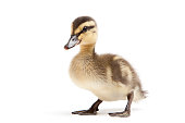 Baby duck on a white background