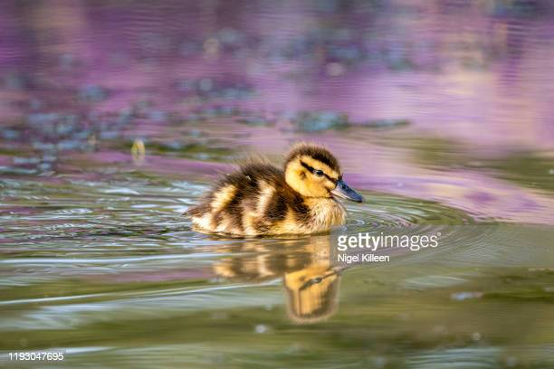 baby duck, tekapo, new zealand - duckling stock pictures, royalty-free photos & images