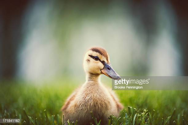 baby duckling - duckling stock pictures, royalty-free photos & images