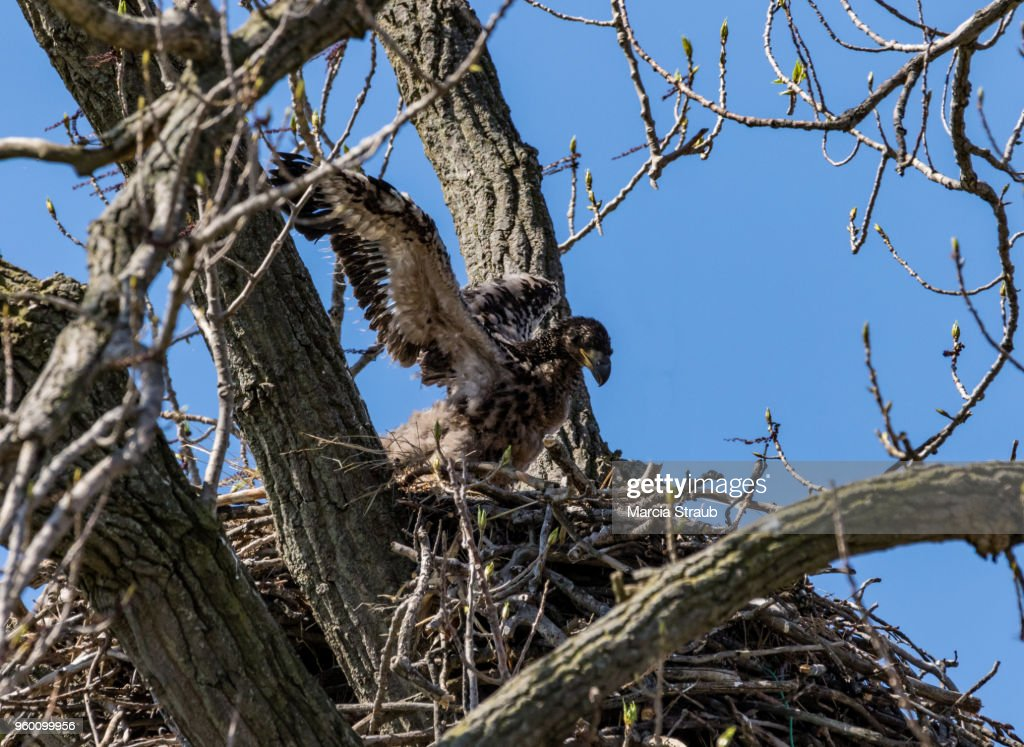 Baby Eaglet Trying to Fly : Stock-Foto