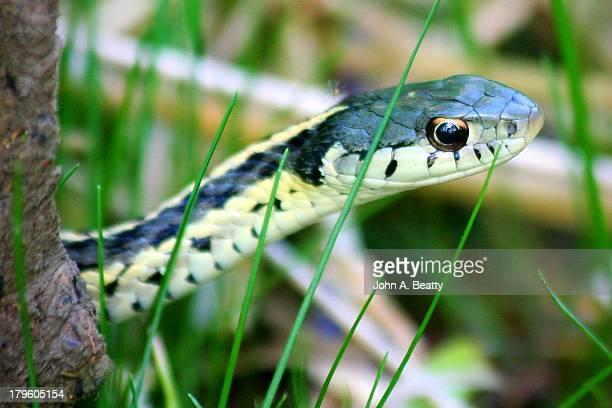 baby eastern garter snake - garter snake stock pictures, royalty-free photos & images