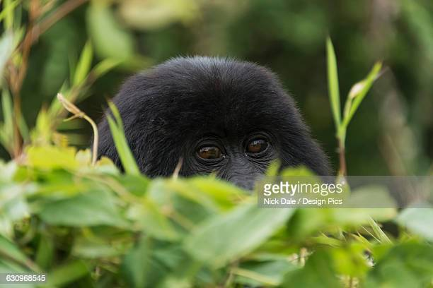 a baby eastern gorilla (gorilla beringei beringei) peeps over a leafy bush in the forest with face and eyes of the gorilla in focus with the leaves blurred - bush baby stock photos and pictures