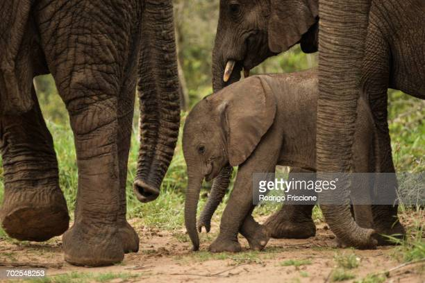 Baby elephant among adults, Phinda Game Reserve, South Africa