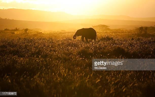 Bébé éléphant au coucher du soleil