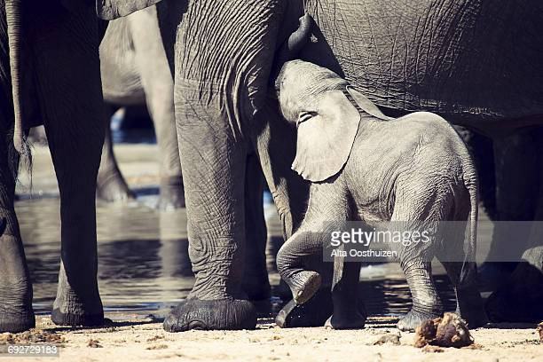 Baby elephant attempting to drink from a mother at a waterhole - Kruger National Park South Africa