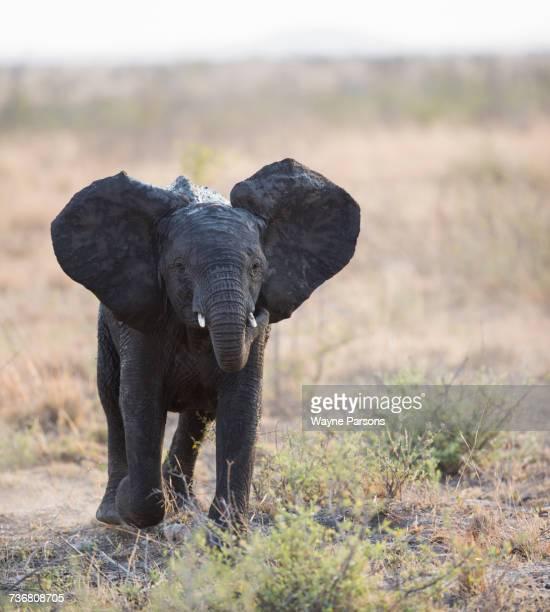 Baby elephant charging, Elephant, African Elephant, (Loxodonta africana), Madikwe Game Reserve, South Africa.