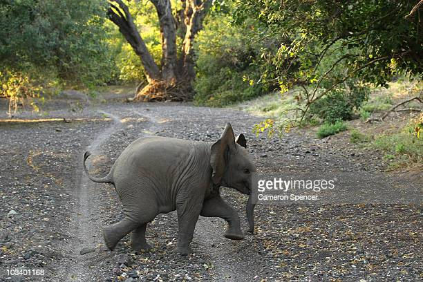A baby elephant crosses a dry river bed at the Mashatu game reserve on July 25 2010 in Mapungubwe Botswana Mashatu is a 46000 hectare reserve located...
